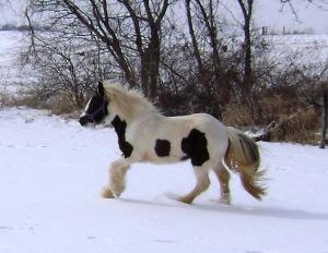 Gypsy vanner horse pinto cob