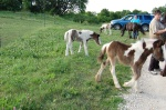 Gypsy foals 2012